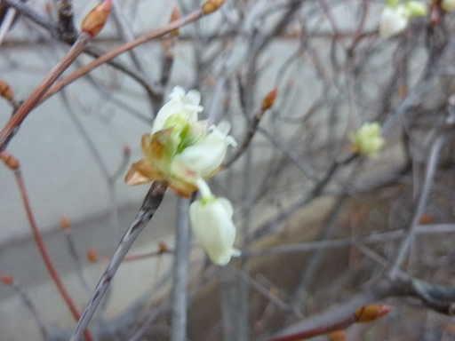 2010・4月ドウダンツツジ