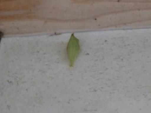 20100220・自然観察会18・アオスジアゲハのサナギ