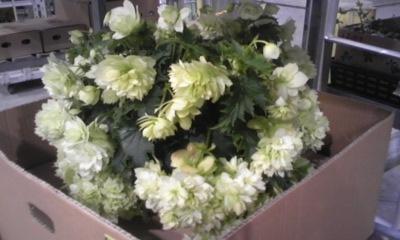 T's Garden Healing Flowers‐エラチオールゴコニア八重白