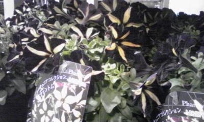 T's Garden Healing Flowers‐ペチュニア『ファントム』
