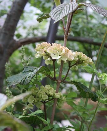 T's Garden Healing Flowers‐ビバーナム・カームズピンク開花