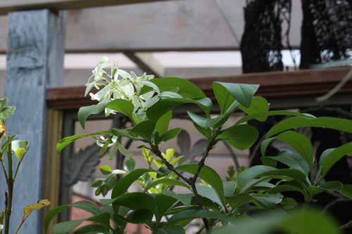 T's Garden Healing Flowers‐ナンジャモンジャの花開花