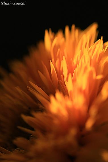 八重咲きヒマワリ