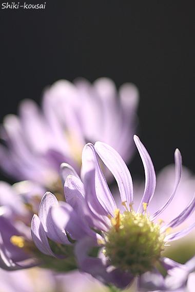 紫苑・ハイキー
