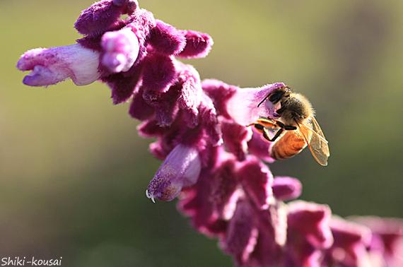 ミツバチ・メキシカンセージ