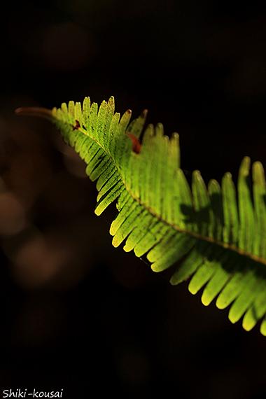 シダ系植物
