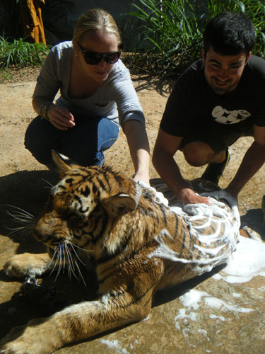 washing the tiger and feeding1