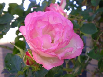 薔薇124