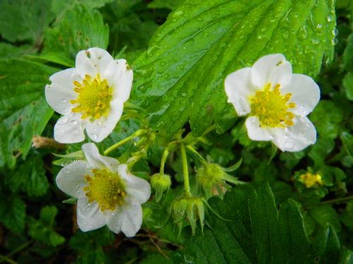 イチゴの花51