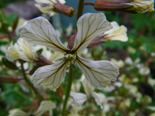 ルッコラの花517