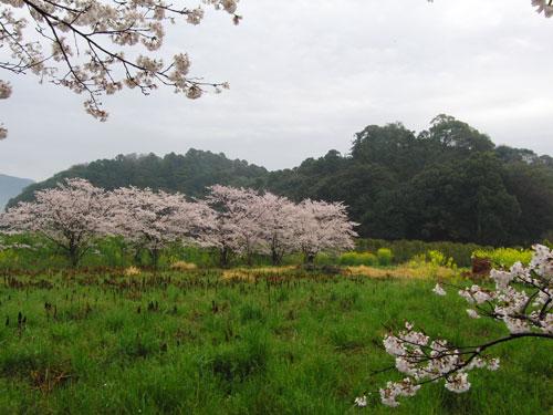sakurai04112.jpg