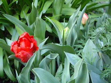 咲いた咲いたチューリップ