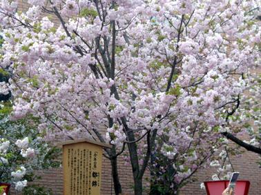 今年の桜「都錦」