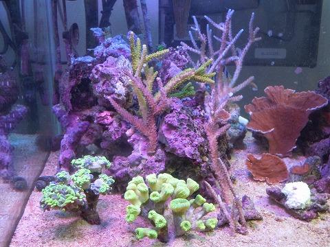 たらふく産サンゴたち~101106_02