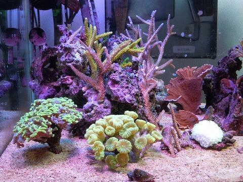 たらふく産サンゴたち~101106_03
