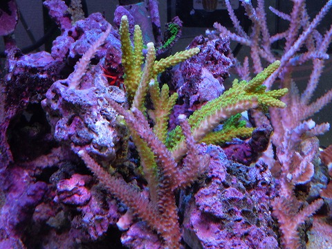 たらふく産サンゴたち~101106_04