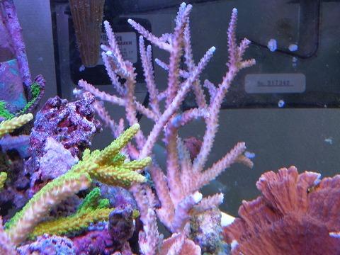たらふく産サンゴたち~101106_05
