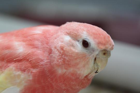 ピンクいの