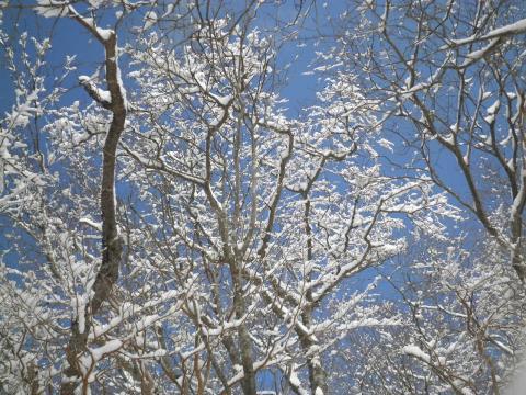 雪のぶな木199