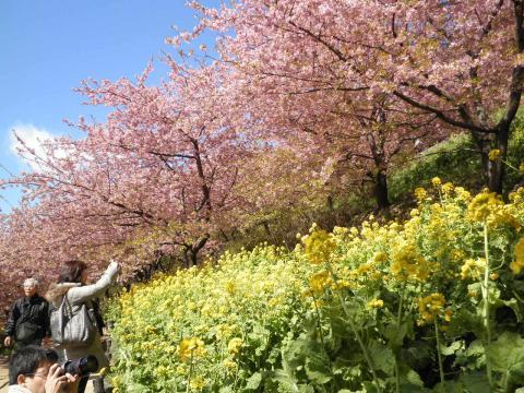 桜と菜の花46