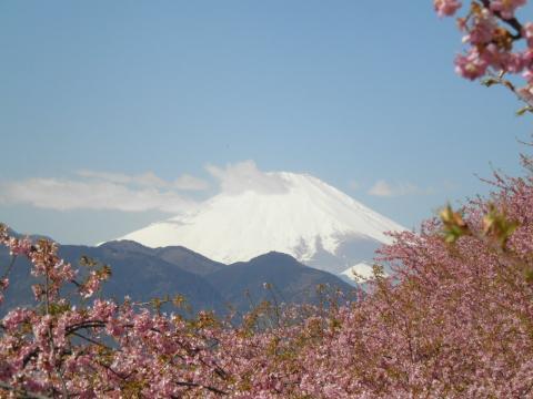 桜と白富士41