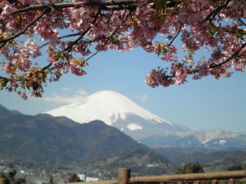 桜と白富士04