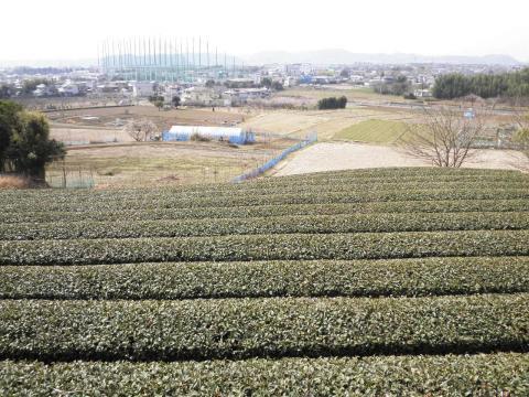 初春の茶畑12