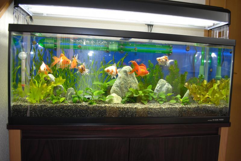 10/23金魚水槽1