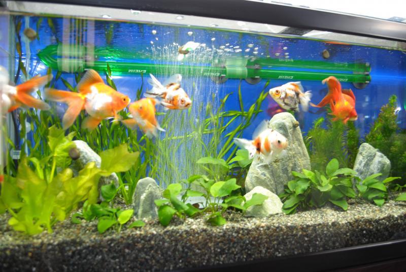 10/23金魚水槽3