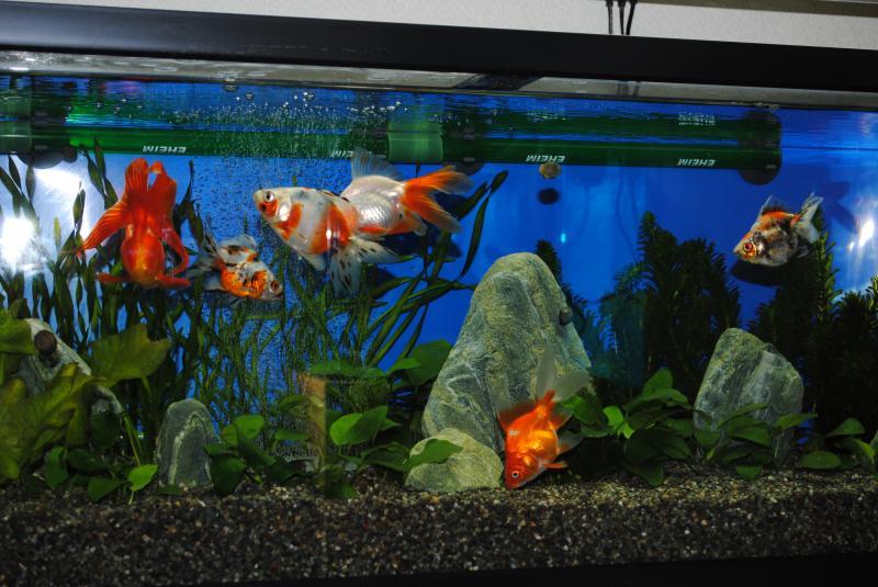 10/23金魚水槽4