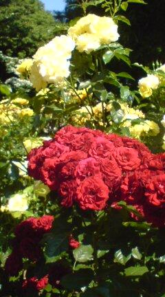塚山のバラ