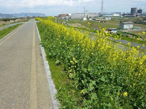 牧野辺りの菜の花?