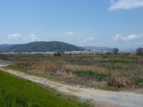 背割堤の桜_遠景
