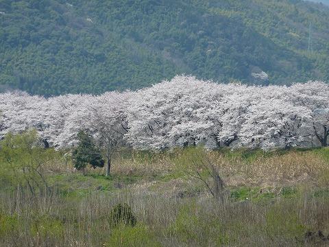 背割堤の桜01