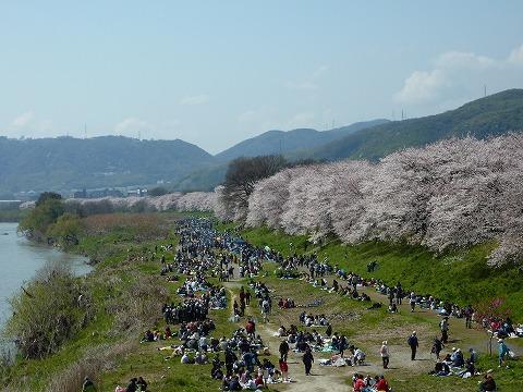 背割堤の桜02