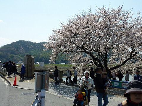 背割堤の桜_上流側