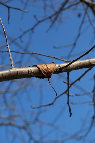 山桜 枯葉DSC_44