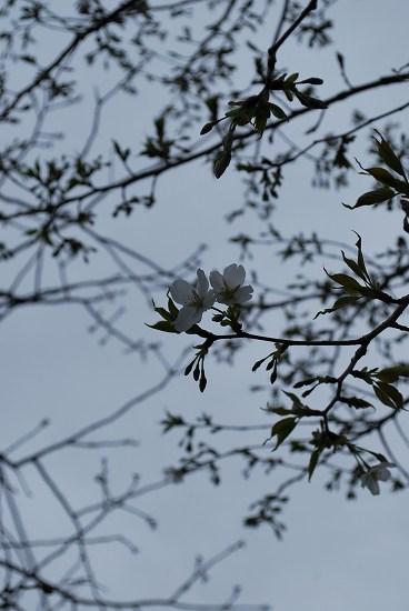 山 桜DSC_0028