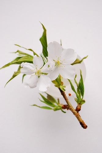 山 桜DSC_0079