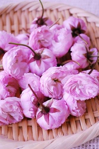 桜塩漬けDSC_0024