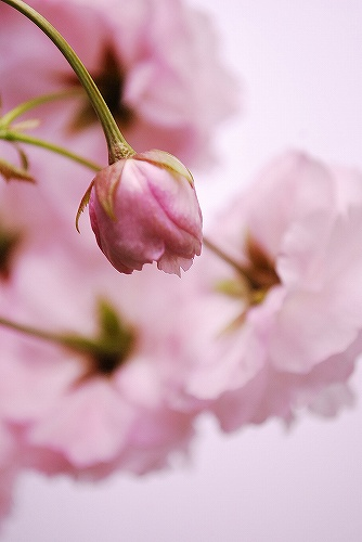 Cherry blossomDSC_0047
