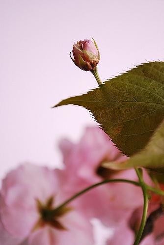 Cherry blossomDSC_0137