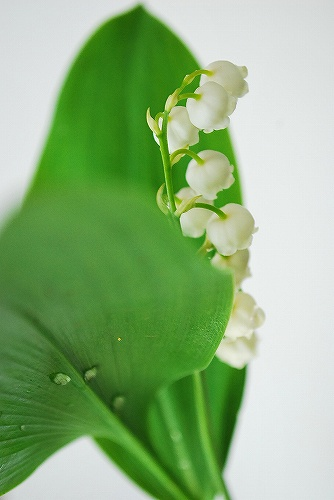 lily of the valley SC_0029