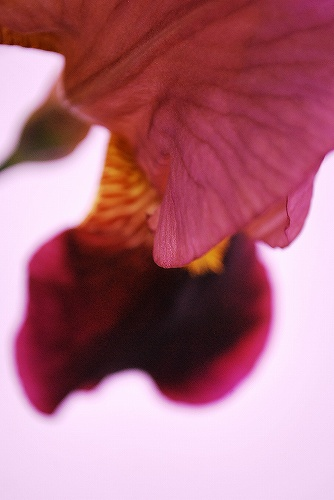 Iris germanicaDSC_0098