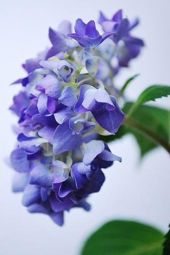 紫陽花DSC_0056