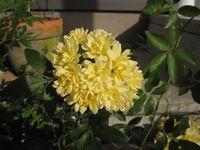 モッコウバラ 黄