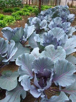 IMG_2036 紫キャベツ