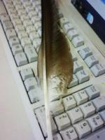 トンビの羽