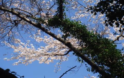 sakura_convert_20100319174130.jpg