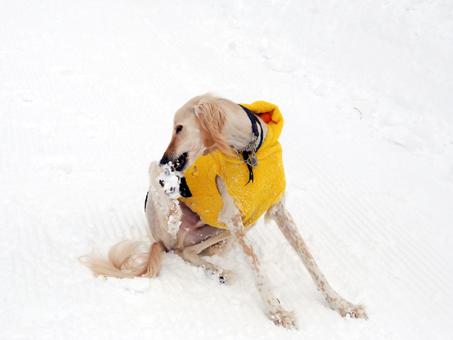 僕はデリケートなタイプなんだから。と雪だまをきにするパブ朗